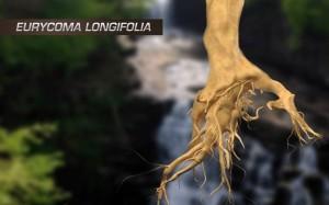 Eurycoma-longifolia-Longjack-Tongkat-ali