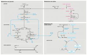 schema-simplifie-metabolisme-macronutriments