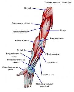 anatomie-biceps