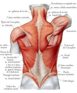 muscles-du-dos