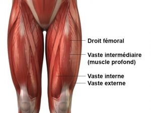 quadriceps-anatomie