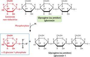 glycogene-chaines-de-glucose