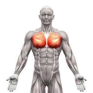 pectoraux-muscles-poitrine