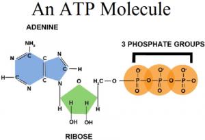 ATP-phosphates-adenine-ribose