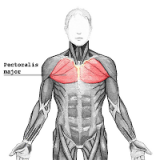 Pectoralis-major-pectoraux