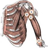 Anatomie du biceps