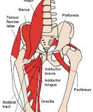 Anatomie des muscles de la hanche