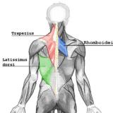 Les muscles du dos