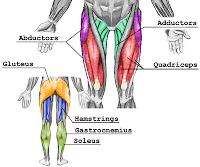 muscles des cuisses