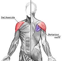 Muscles-des-deltoides