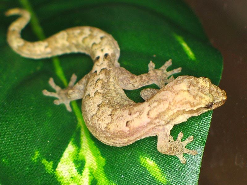 lepidodactylus-lugubris