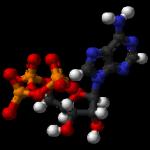 Effets cumulés du HMB-FA (sans calcium) et de l'ATP au cours d'une étude de 12 semaines avec des athlètes entraînés aux exercices de résistance