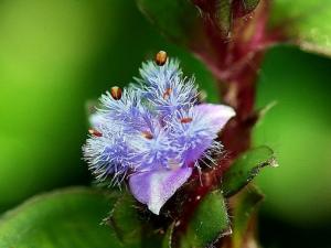ecdysterone-cyanotis-arachnoidea