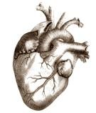 Le-coeur-muscle-myocarde