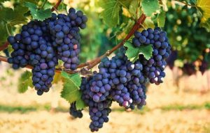 raisin-source-resveratrol