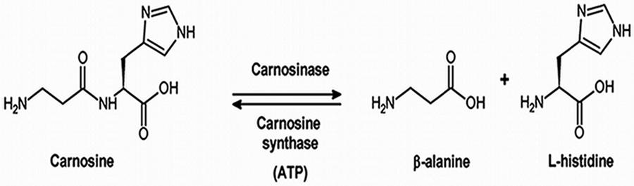 carnosine-beta-alanine-histidine