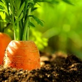 Les carottes, source de l'alpha carotène et du bêta carotène