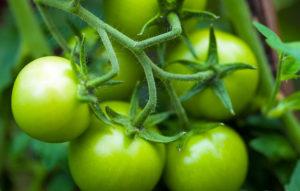 Tomates vertes et alpha tomatine