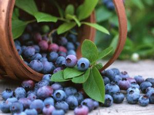 Les anthocyanes des bleuets: plus de muscle et moins de graisse