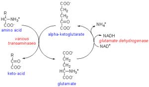 AKG - Alpha cétoglutarate