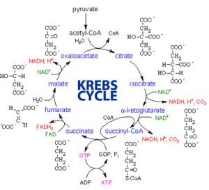 cycle-de-krebs