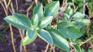 Ashwagandha-feuilles