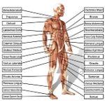 Entraînement de force sans programme d'entraînement, pas de croissance musculaire