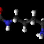La L-Citrulline vous aide à maintenir votre masse musculaire en phase de régime hypocalorique