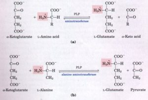 cycle-glutamate-alanine