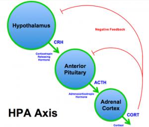 axe-hypothalamus-hypophysaire