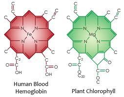 chlorophylle-magnesium
