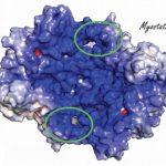 Un nouvel analogue de la follistatine, l'inhibiteur de la myostatine