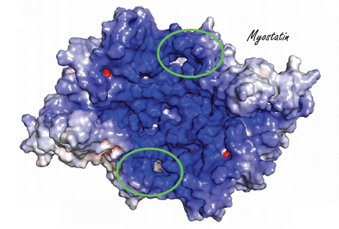 myostatine