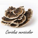 Le champignon polypore versicolore serait un ergogène remarquable