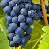 grappe-raisin