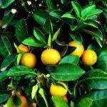 La sinensétine, une autre substance anabolique provenant des agrumes