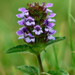 prunella-vulgaris