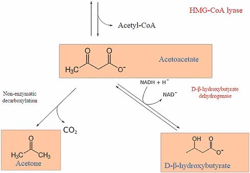 cetones-bhb-acetoacetate