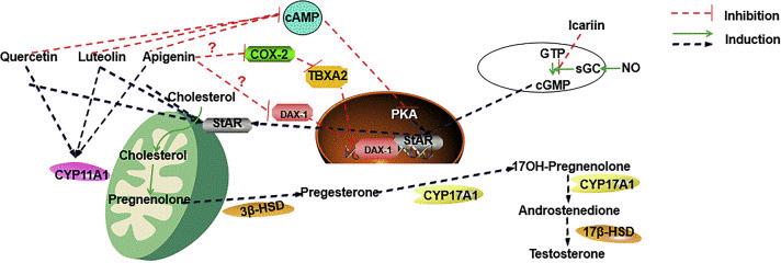 apigenine-cellules-leydig