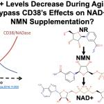 La protéine CD38 entrave l'augmentation du Nad+ par le NR et le NMN