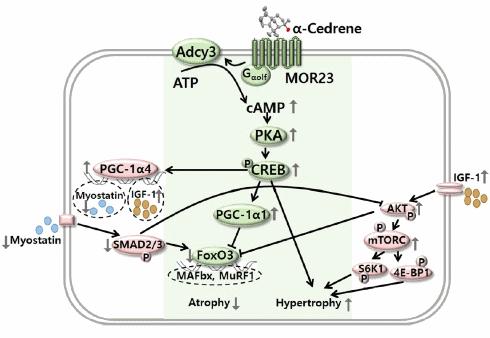 alphacedrene-anabolisant
