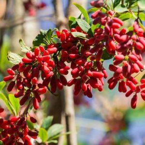 berberis-vulgaris-berberine