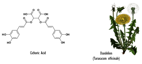 pissenlit-acide-cichorique