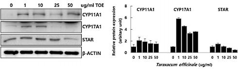 pissenlit-cellules-leydig