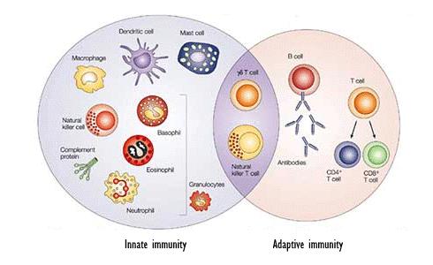systeme-immunitaire-adaptatif-inne